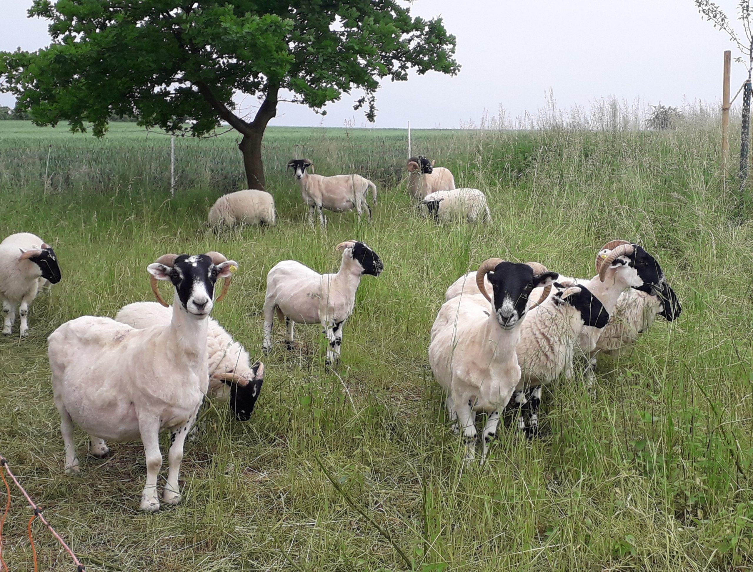 Schafe in den Streuobstwiesen